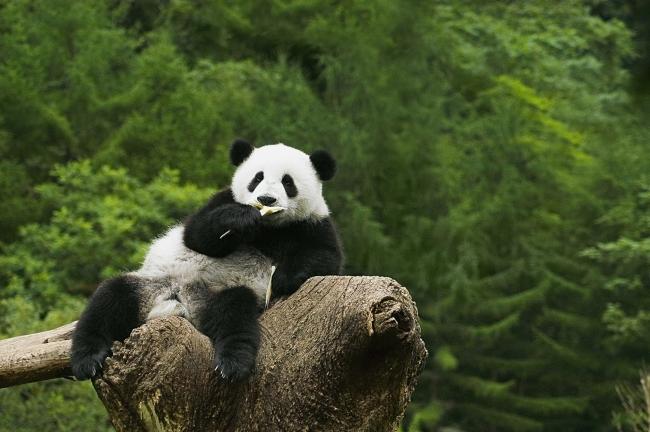 zol素材 高清图片 森林熊猫图片下载  图片素材jpg z金豆:0 下载量:6