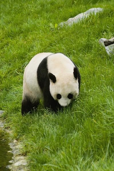 壁纸 大熊猫 动物 狗 狗狗 399_600 竖版 竖屏 手机