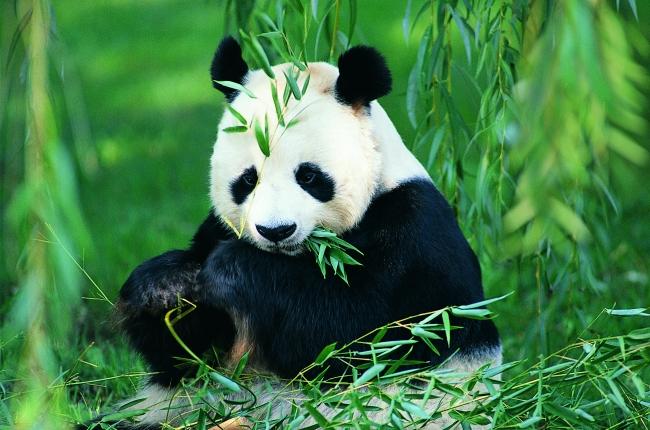 竹林熊猫图片下载